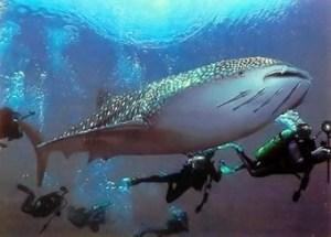 whale-shark-diving-tao-thailand